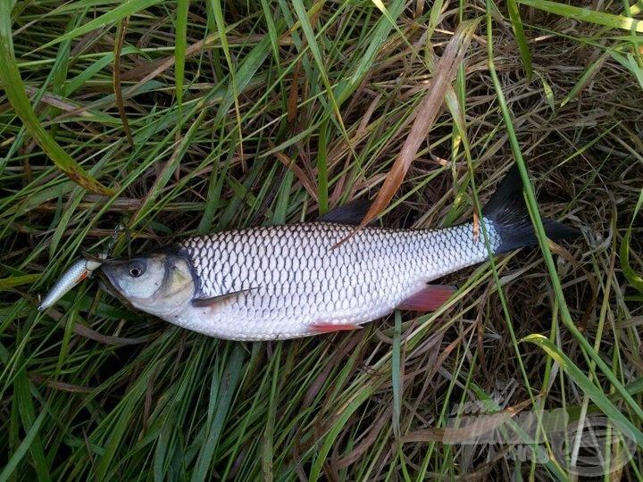 A délután első hala