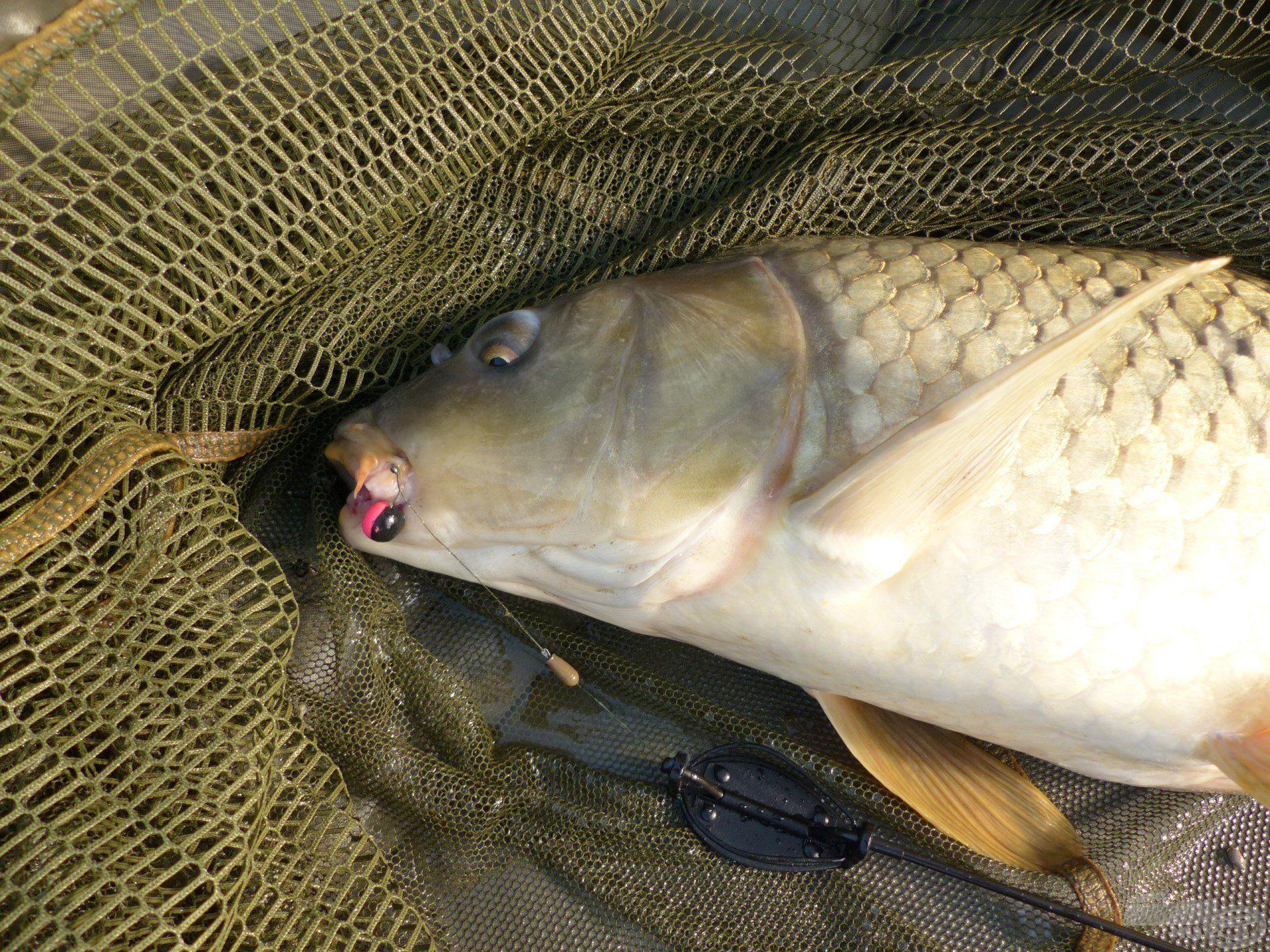 … a leggyakrabban a BlendeX Pop Up Method bojlik valamelyike virított halaim szájában