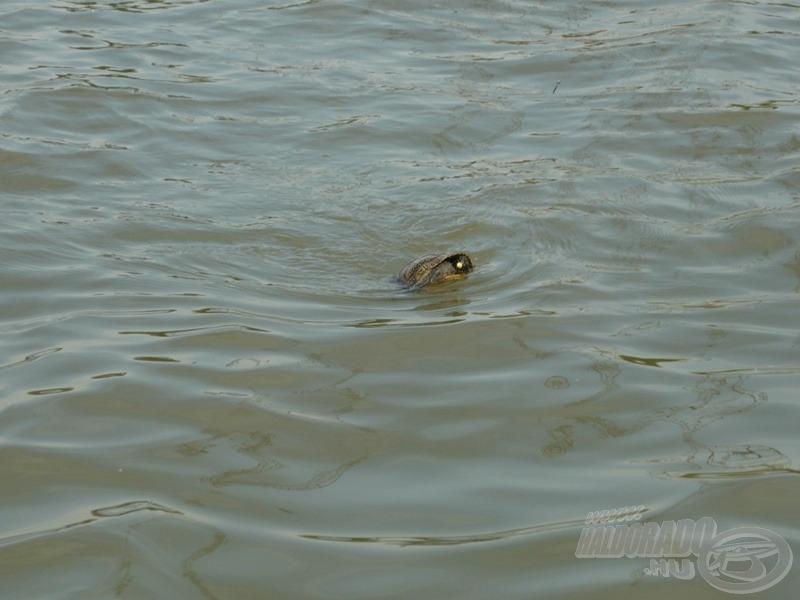 Horgon a teknős