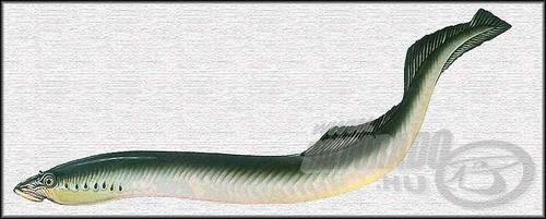 Tiszai ingola (Eudontomyzon danfordi)