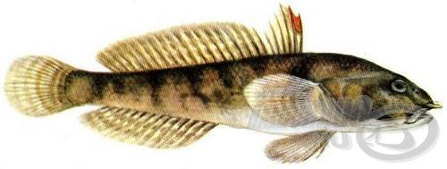Tarka géb (Proterorhinus marmoratus)