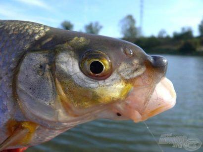 Vadvízi kalandok 11. rész - A Vág folyón horgásztunk