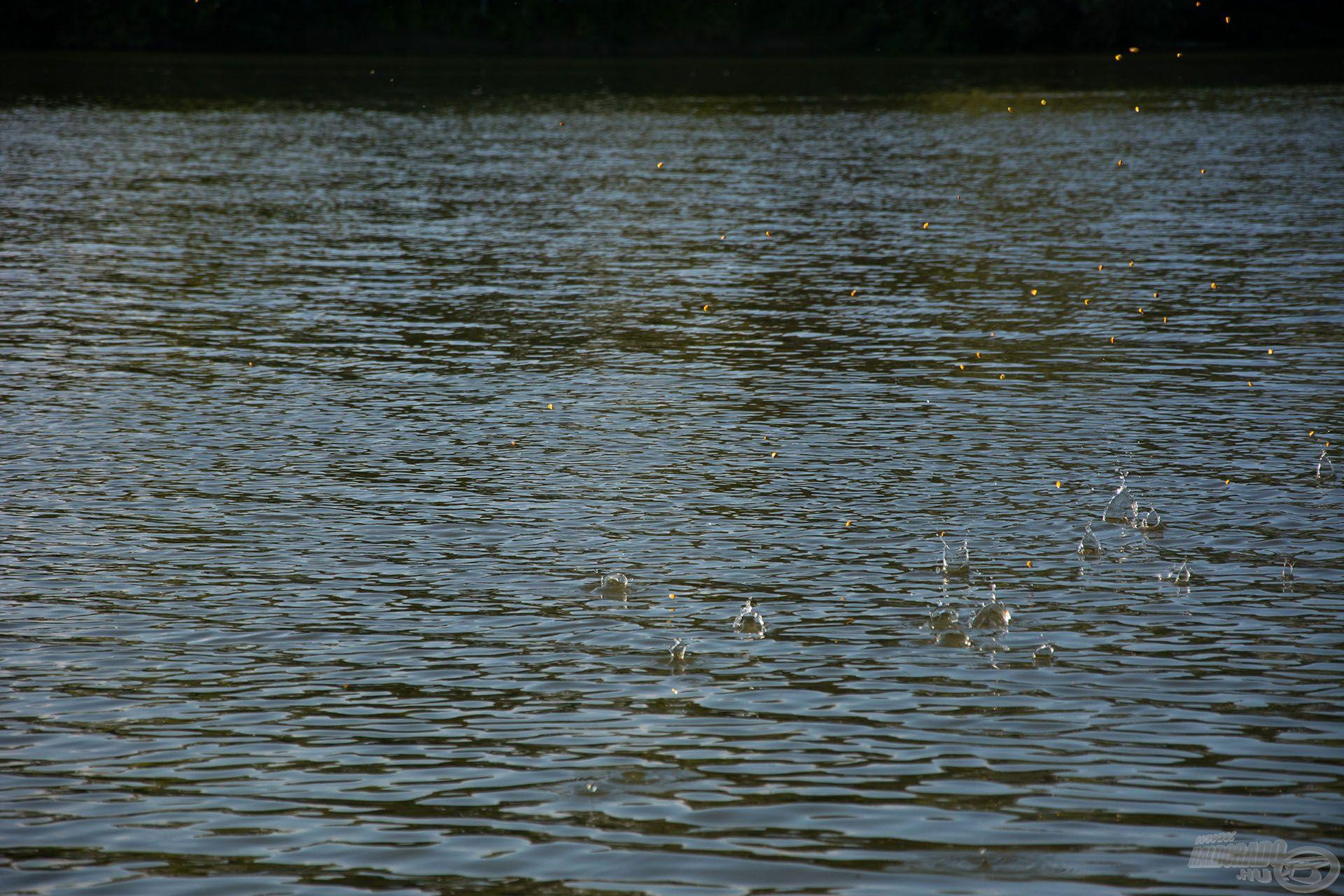 A sekély, lassan áramló vízben a magvak maximum 3-4 méter megtétele után a mederfenékre süllyedtek