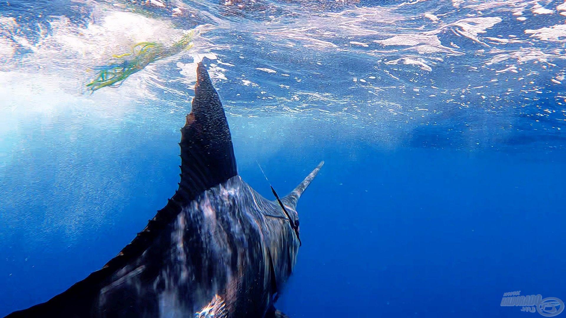 A kék marlin, ezért a halért utaztam át a világot