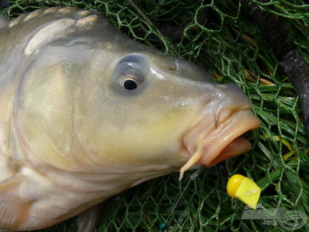… és a hal szájában
